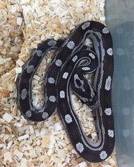 Black Motley Cornsnake