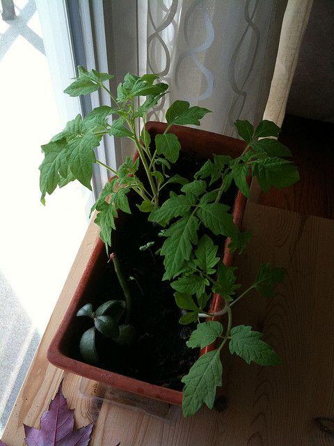 Best 25+ Indoor Vegetable Gardening Ideas On Pinterest | Gardening,  Vegetable Gardening And Indoor Gardening