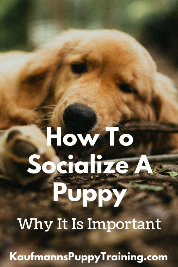 How To Socialize A Puppy And Why It Is Important Did You Know