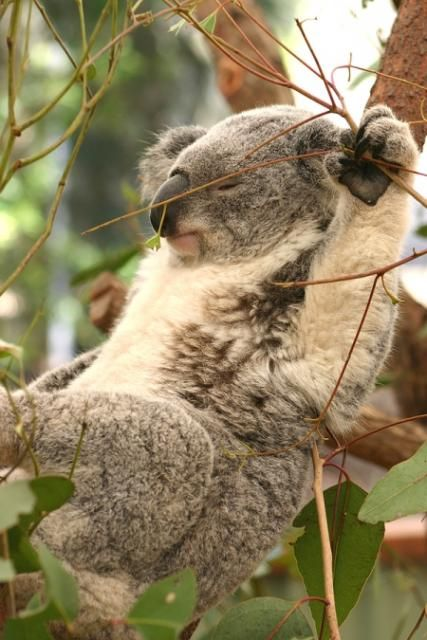 17 Best images about Koala bears on Pinterest | Brooches ...