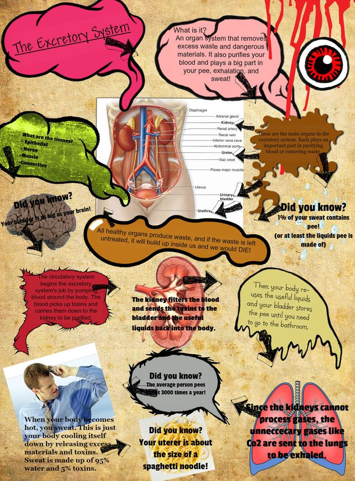 an essay on the excretory system of the human body Assignment & rubric  excretory system  and develop an understanding of the mechanics of its operation as well as what its importance is to the human body.