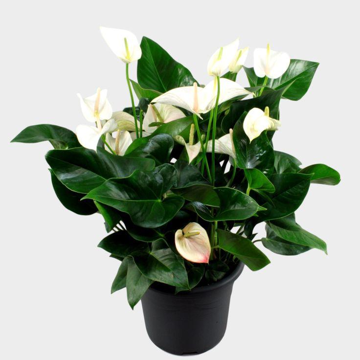 Anthurium andr. White Winner Ø32cm
