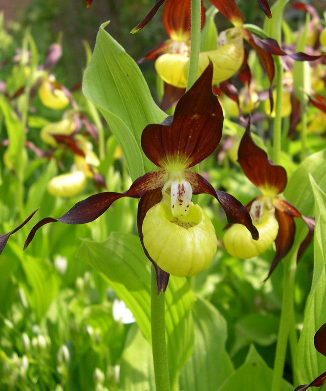 35 best cypripedium images on pinterest easy garden for Orchidee exterieur