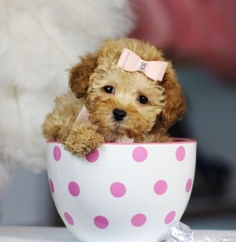 Teacup Poodle...in a teacup