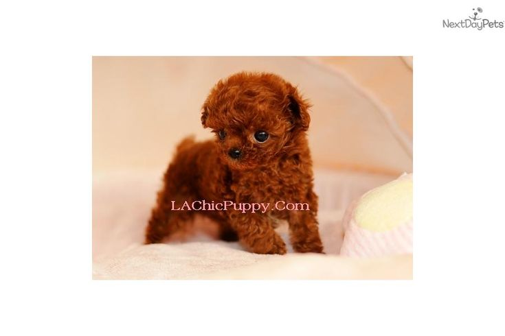 Meet Abbey a cute Poodle, Miniature puppy for sale for $3,000. Abbey, Adorable Teacup Red Poodle