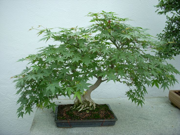 Bonsai trees are very intriguing little creatures, because they resemble tiny trees, with tiny leaves, and live for a very long time. To thrive, bonsai trees need to be consistently groomed, watered and receive the love that they deserve. The magic of growing... #bud #cannabis #cannabisbonsai