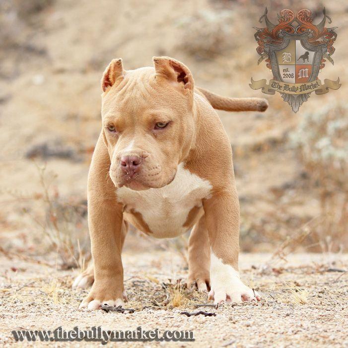"Our new Beastro puppy ""Golden Boy"""