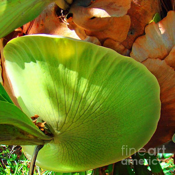 Staghorn Fern Butt photograph by Nancy L. Marshall - Staghorn Fern Butt Fine Art Prints and Posters for Sale #FineArtAmerica  Taken at Port St. Lucie Botanical Gardens, Port St. Lucie, Florida.