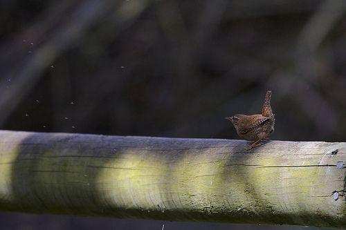 Wren catching flies