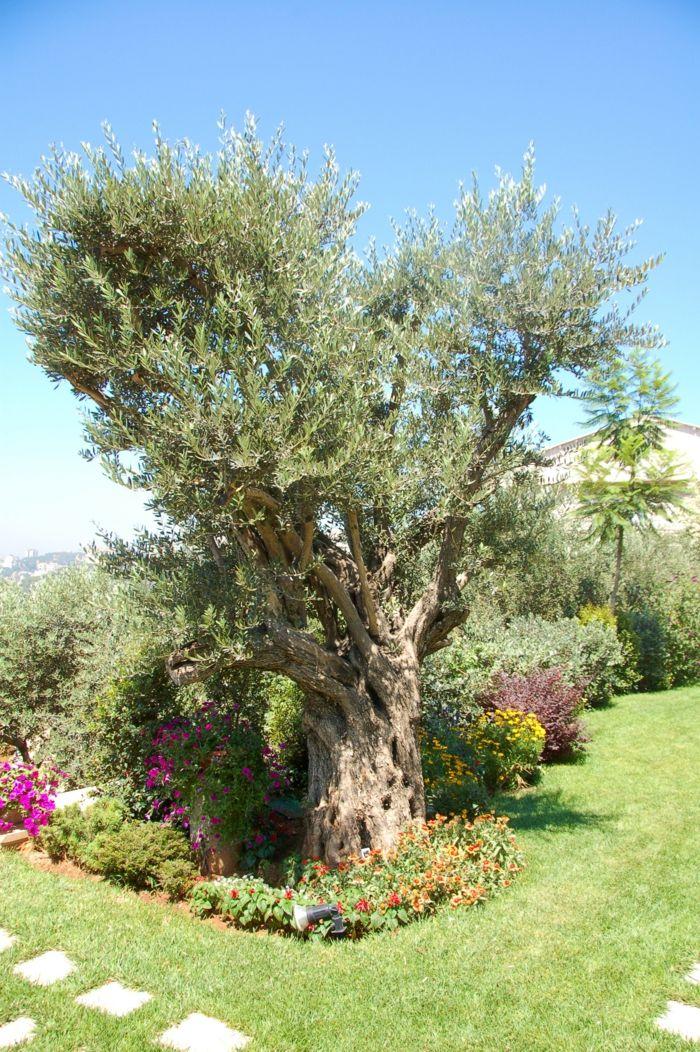 olivenbäumchen gartenpflanzen olivenbäume pflege