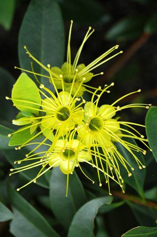 Click here www.theshortcollection.com.au/Australian-Flowers for information on the Australian Native Golden Penda. Buy a Handmade greeting card with this photo for just $4.50 delivered.