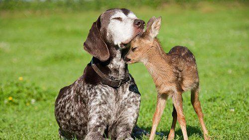 bambi♡dog: Animal Pics, Baby Deer, Animal Friendship, Puppies, Sweet, Best Friends, German Shorthair Pointers, Hunt'S Dogs, Desktop Wallpapers
