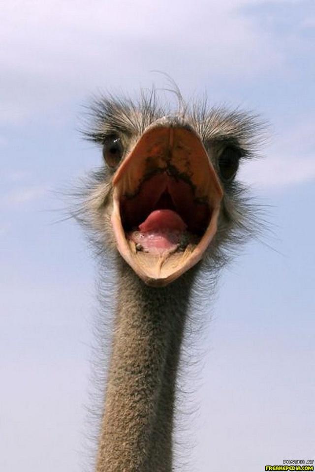 """Ostrich:  """"HELLO !!!!"""""""