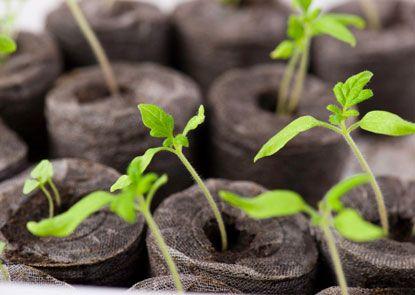 Little baby tomato plants <3