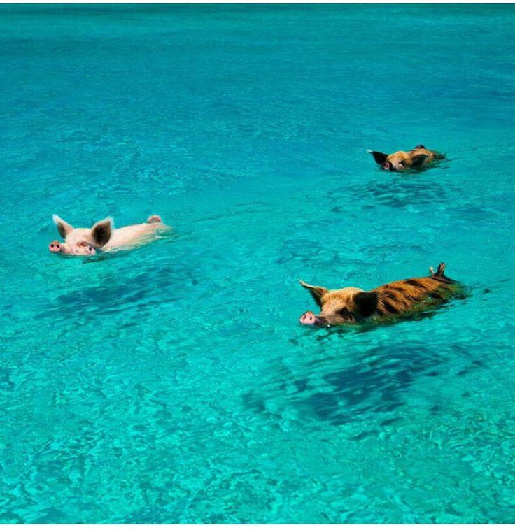 Pigs love to swim