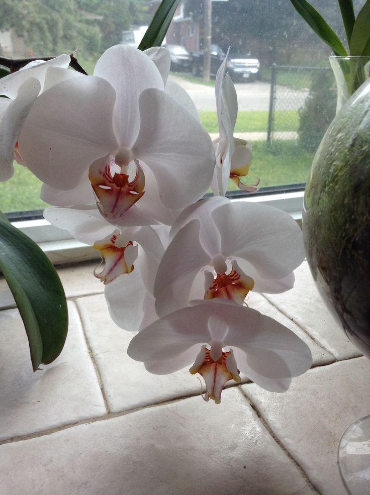 Sogo White Orchid - phalaenopsis