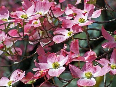 How to Grow Pink Dogwood Trees