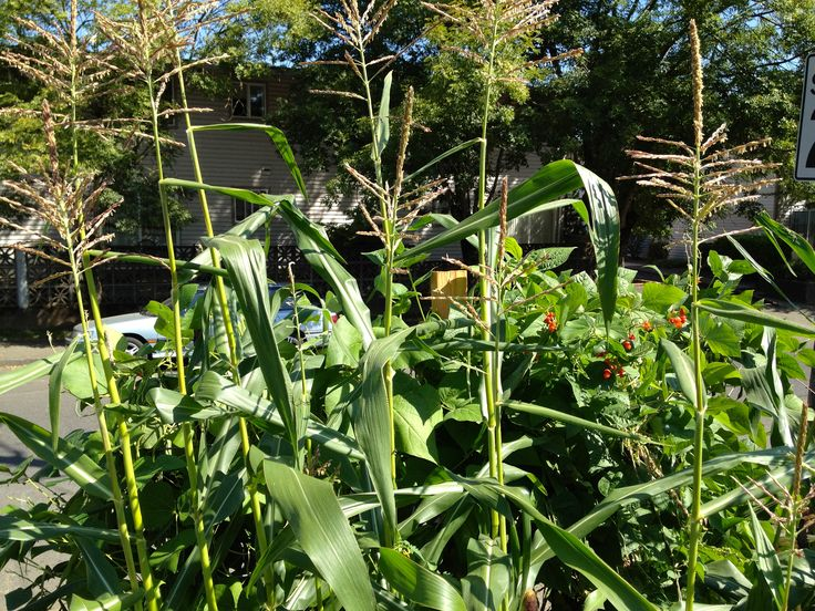 Growing sweet corn in small spaces