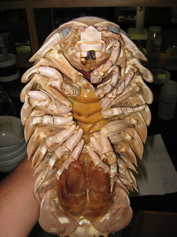 "Giant Isopod | This one is the largest of the existing isopods. ""The enormous size of the giant isopod is a result of a phenomenon known as deep sea gigantism. This is the tendency of deep sea crustaceans and other animals to grow to a much larger size than similar species in shallower waters."" (Image credits: Littoraria)"