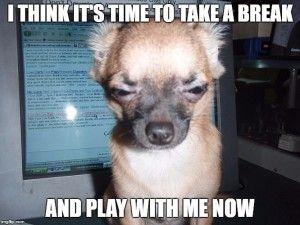 10 funny Chihuahua memes | Dog Memes | Chihuahua, Dogs ...