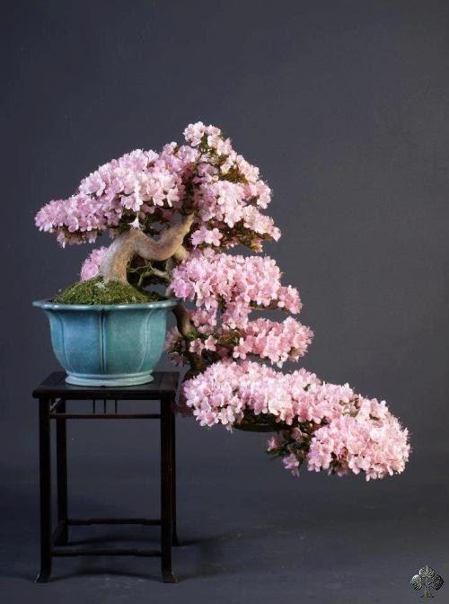 Un bonsaï d'azalée en cascade n'est pas fréquent. L'arbre porte des fleurs lumineuses. Par: Teunis Jan Klein.