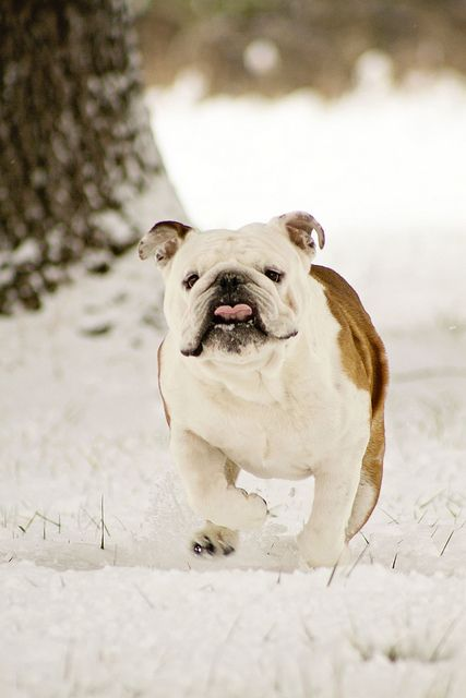 Pup in the #snow #winter #puppy #englishbulldog #breed #english #bulldog #best #dogs #cute #bulldogs #dog #pets #animals #canine #pooch #bullies