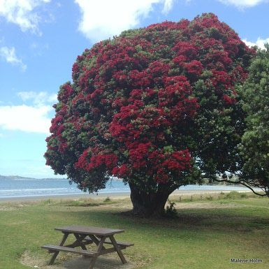 Pohutukawa (the NZ Christmas tree), Orewa Beach, North Shore, Auckland - Image Courtesy of Malene Holm