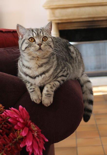 British shorthair cat http://chatterie-de-timelie.fr/