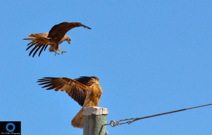 Kites, Outback Queensland Australia.