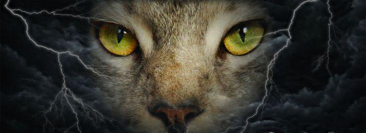 Querubins Kron, my Silver King Maine Coon cat