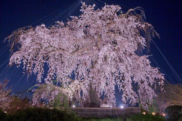 円山公園のしだれ桜「一重白彼岸枝垂桜(京都の三ツ星桜)」(京都市東山区円山町)