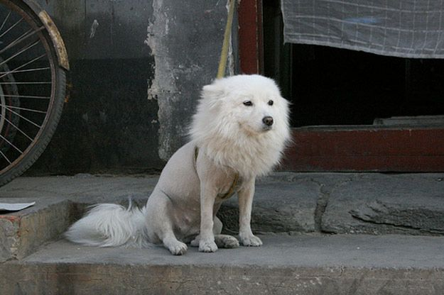 I dare you not to laugh at this poor shaved puppy!