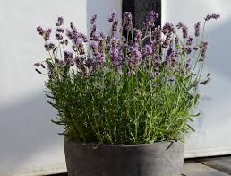 Bilderesultat for lavendel plante