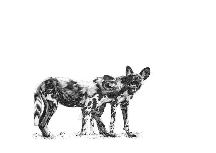 African wild dog pups playing in a BW photographic print