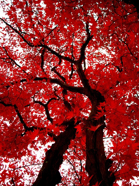 Japanese maple trees - *mon dieu* - I wish these could grow where I live. Sadly, it's too hot here. I love them so.