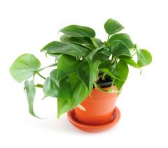 Heartleaf philodendron ~ Philodendron scandens `oxycardium'