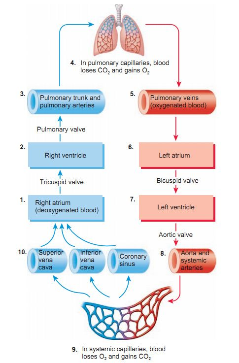 blood flow of the heart | Paramedic Study Guide | Pinterest