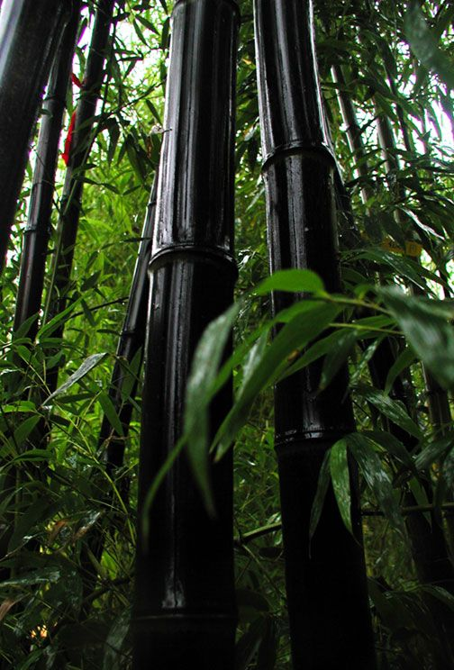 FAQ about growing and controlling bamboo--lots on info on containers, Fargesia clumping do well in containers in partial shade. Find varieties for zone 5-6