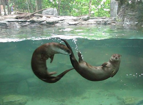 North American River Otters by animalzrforever, via Flickr