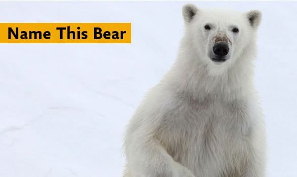 We love this contest by our partner Quark Expeditions! Help name this momma polar bear.