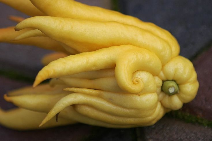 Weird Ingredient Wednesday: Get Enlightened with a Buddha's Hand Citron « Food Hacks