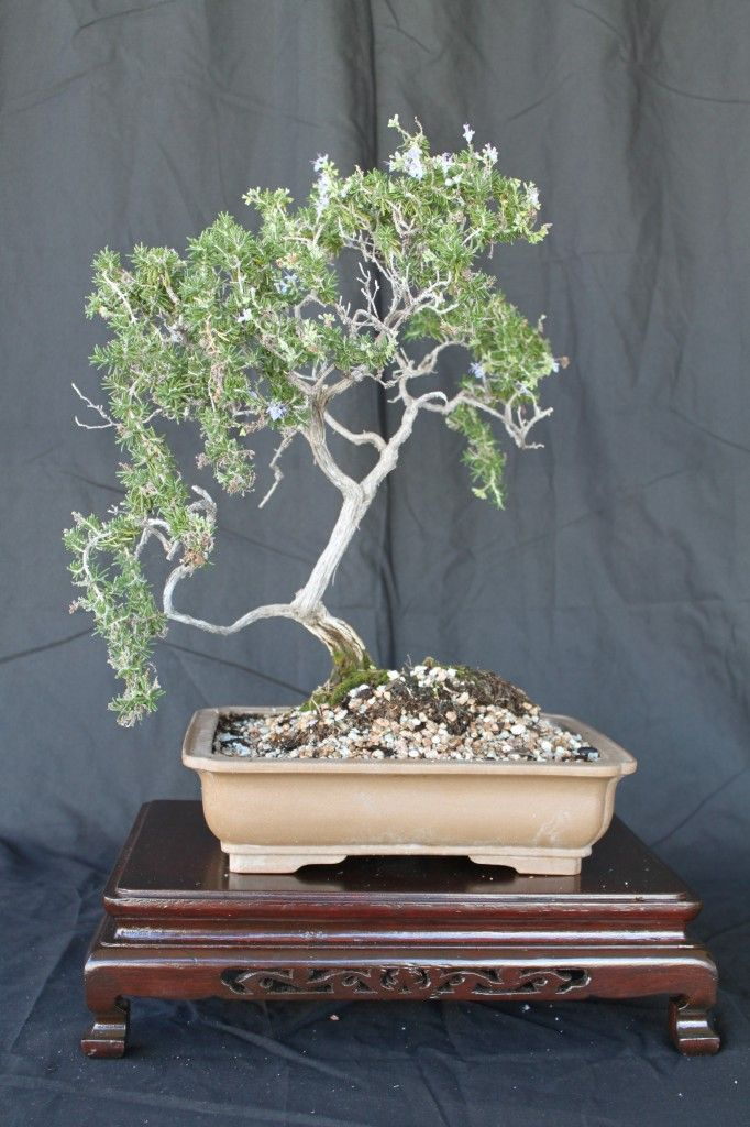 rosemary bonsai, everything you need to know.