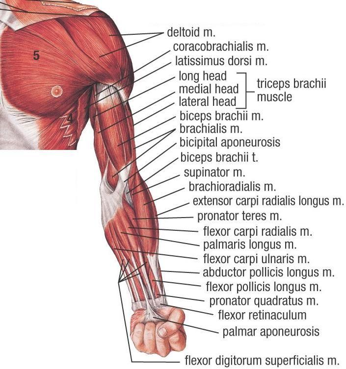 Left arm anatomy