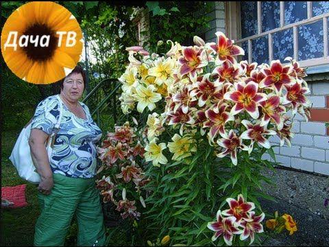 Как посадить гибридные лилии?   Дача ТВ