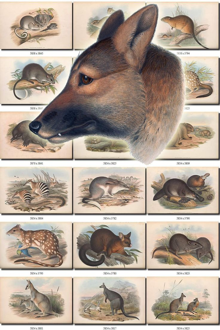 MAMMALS-50 Collection of 285 vintage images animals collage Australian from Australia animals High resolution digital download printable by ArtVintages on Etsy