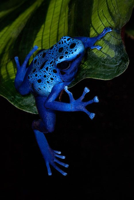 Blue Poison Dart Frog (Dendrobates Azureus) dangling from a leaf ~ © by Ken Koskela