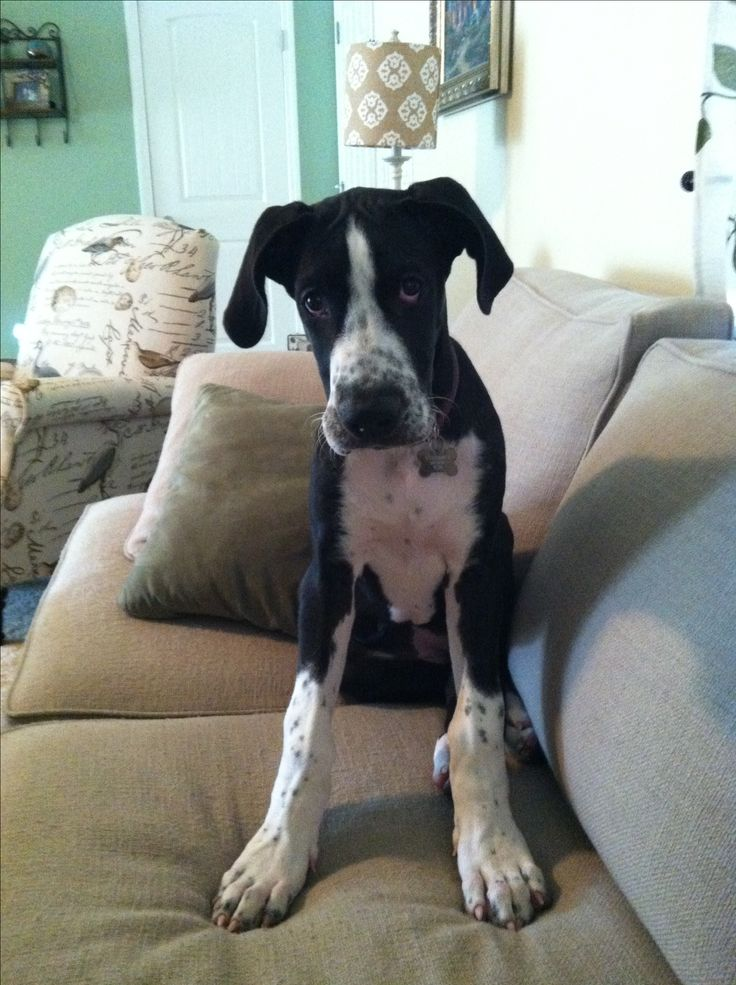 17 Best images about Mantle great danes on Pinterest ...