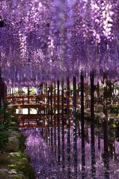 Wisteria, Aichi, Japan #藤 #wisteria