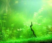 Acuarios Plantados | Plantas acuáticas - Plantas de acuario - Equipos Co2 - Insumos - Paisajismo - Filtros - Sistemas completos y mucho mas! - Guía A.P.