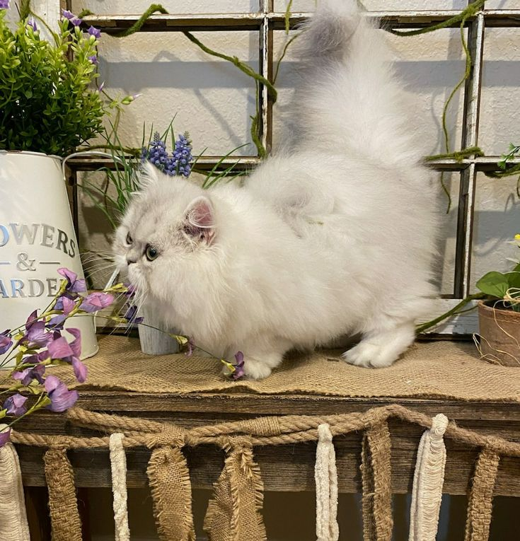 Pin by Doll Face Persian Kittens ww on Chinchilla Silver